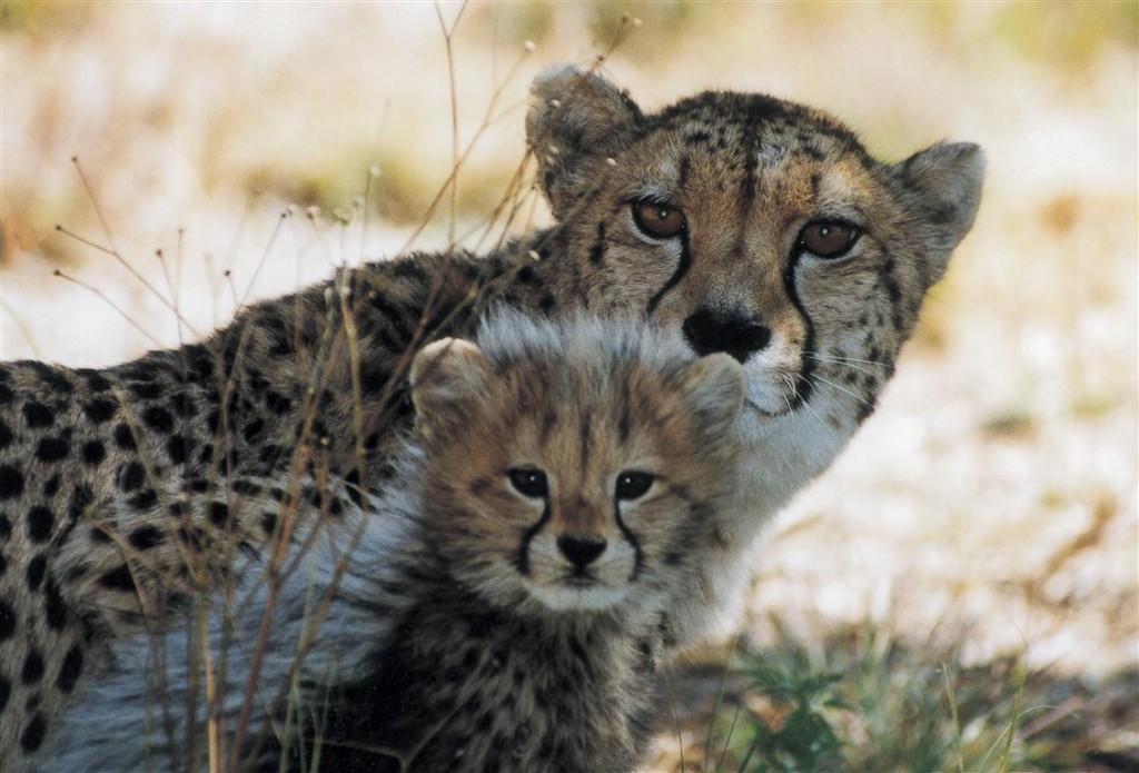 Cheetah (Medium)