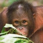 Orangutan- Turquoise Holidays