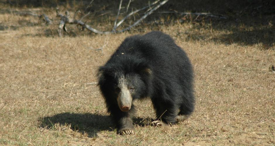 Sri Lanka Sloth Bear