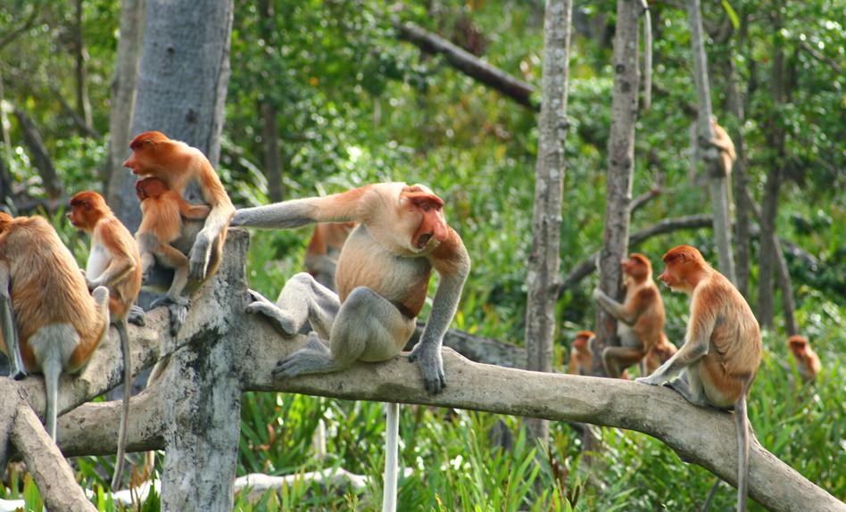 Proboscis Monkey Harem at Gaya Island Resort