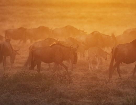 Kenya, Masai Mara, Wildebeest