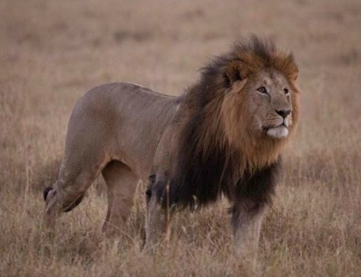 lions1-1