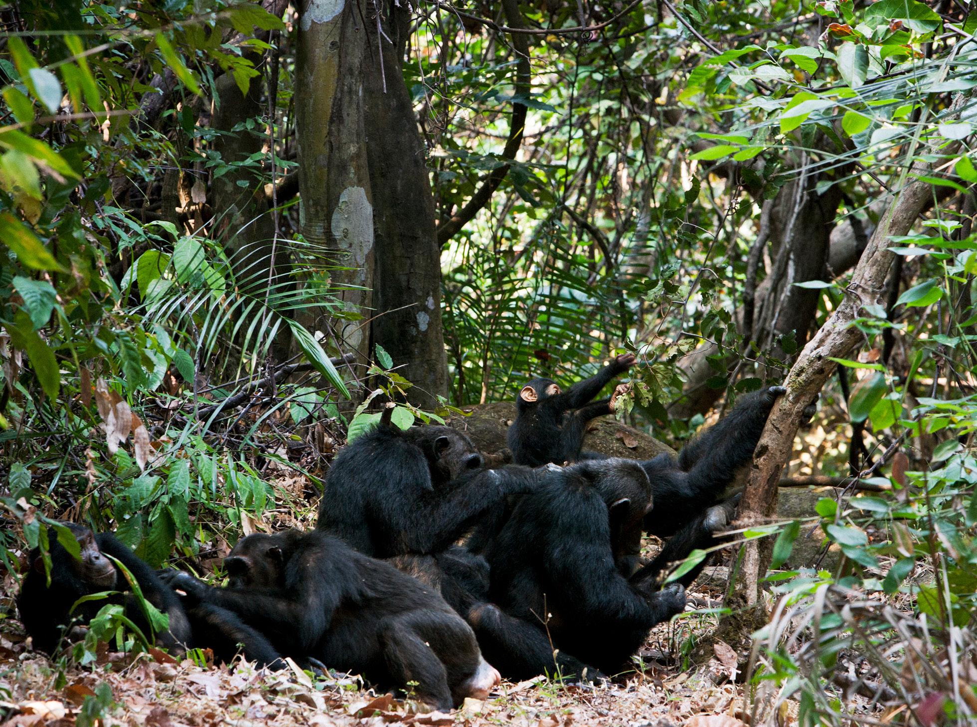 Greystoke Mahale Western Tanzania chimpanzee wifi free family holiday
