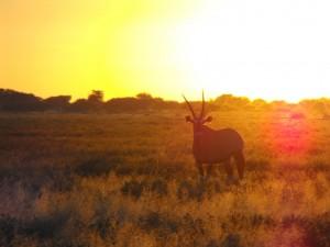 kalahari gazelle