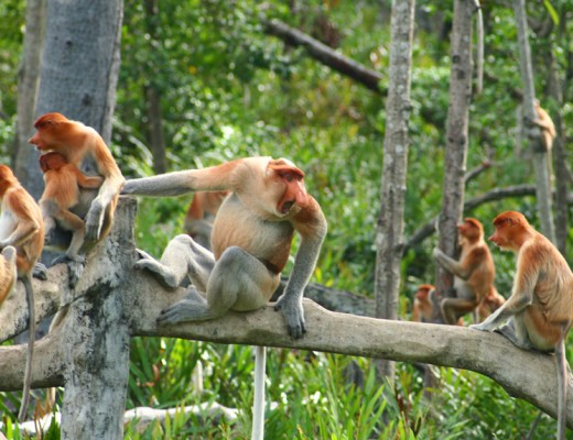 Proboscis Monkey Harem at Gaya Island Resort