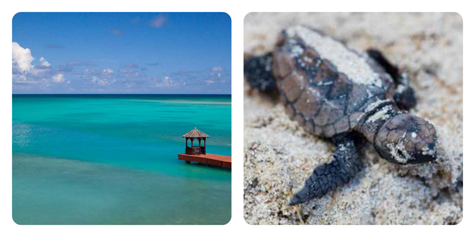 Jumby Bay Antigua Turtle