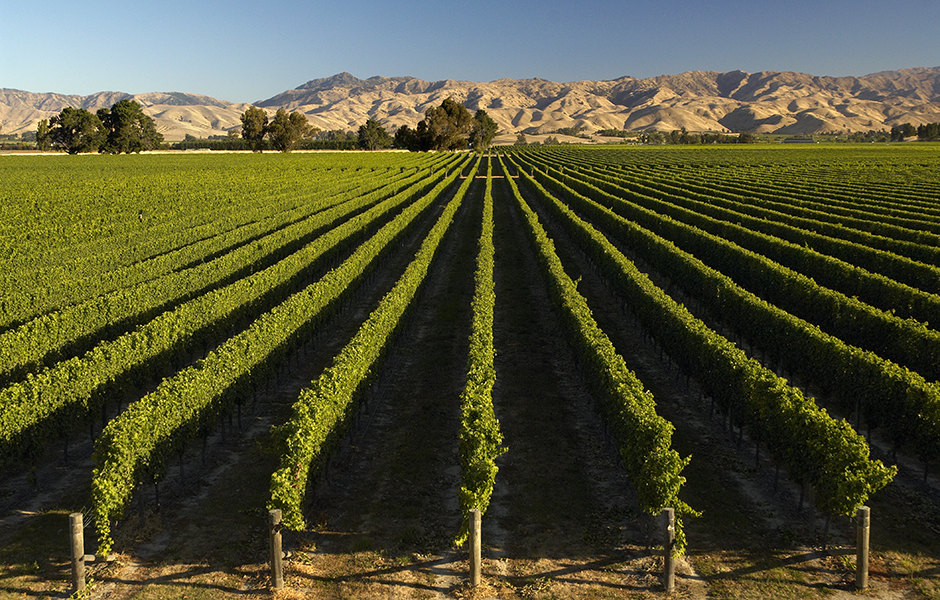marlborough_vineyard_2