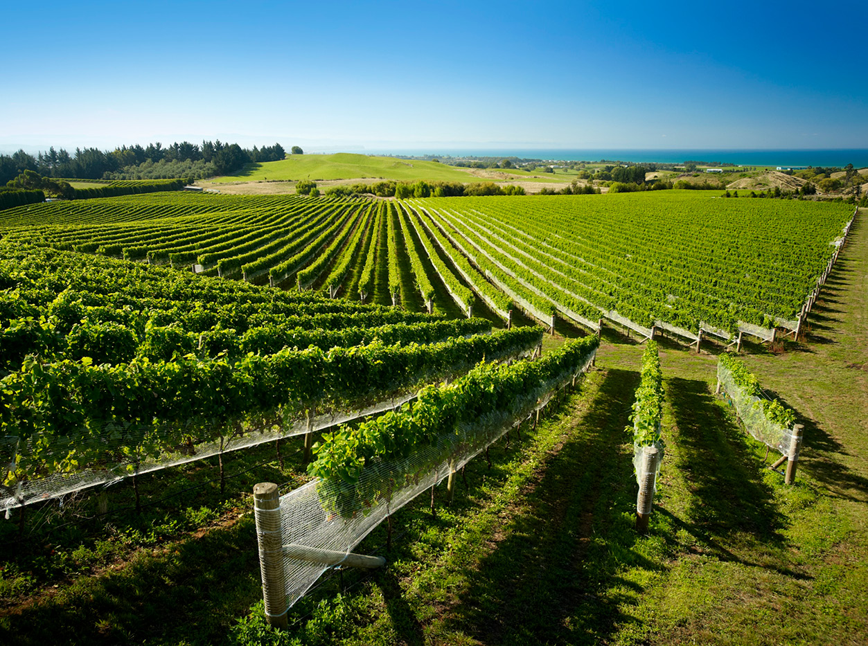 vineyard new zealand wine
