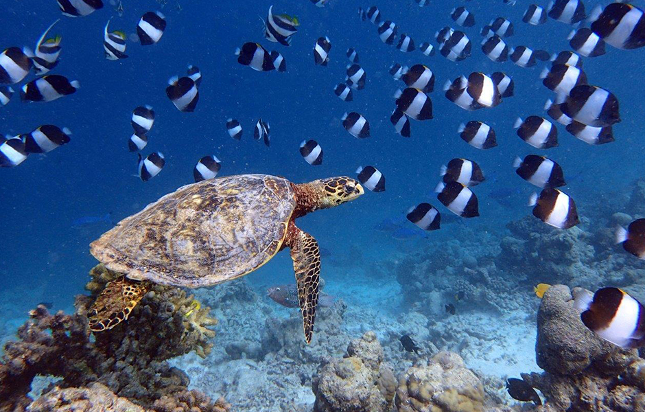 milaidhoo snokelling maldives turtle